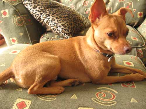 Tan Chihuahua Mix Images & Pictures - Becuo