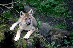 wolfpup.jpg