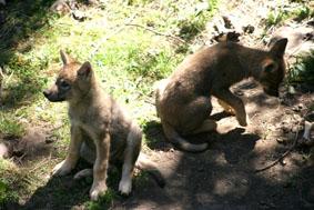 wolfpups.jpg