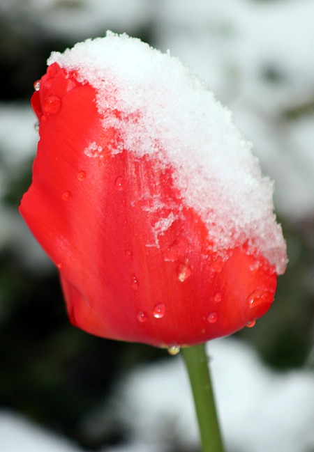 tulipsnow.jpg