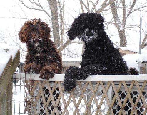 snowdogs.jpg