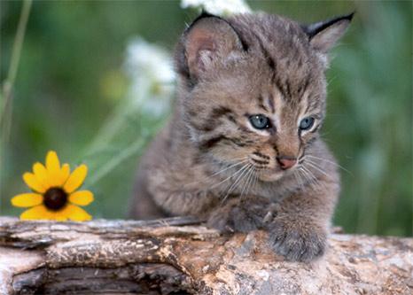 Cute baby bobcat - photo#28