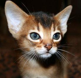1393906303_abyssinian-kitten_1.jpg