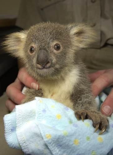1393995586_baby_koala.jpg