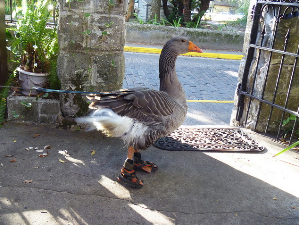 Goose-with-shoes.jpg